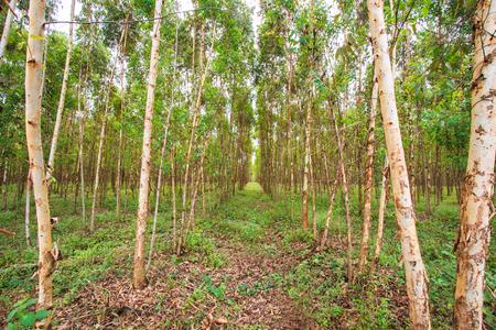 Eucalyptus fields, eucalyptus, eucalypti, eucalyptuses  photo