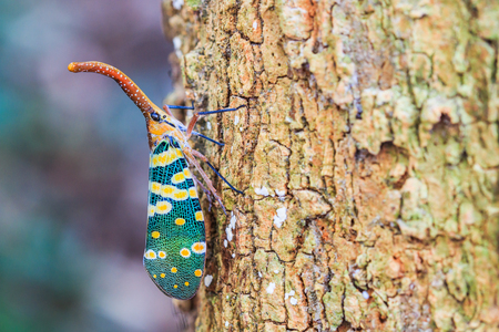 Lanternfly, the insect on tree fruits   FULGORID PLANTHOPPERS  Pyrops candelaria or lantern Fly,sometime we call trunk cicada or trunk butterfly