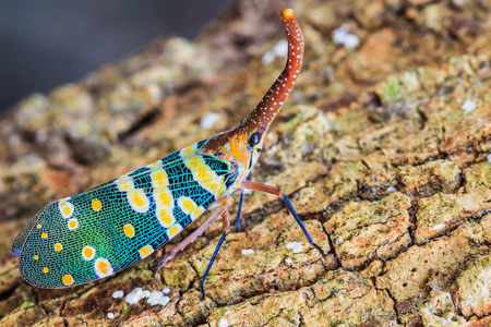 insect: Lanternfly, the insect on tree fruits   FULGORID PLANTHOPPERS  Pyrops candelaria or lantern Fly,sometime we call trunk cicada or trunk butterfly