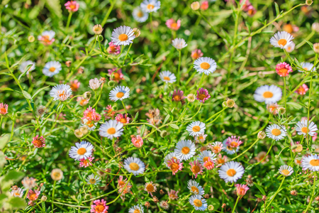 Field of daisyes , Flowering white Eigeron  photo