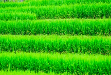 Paddy view green beautiful Chiang Mai Northern Thailand  photo