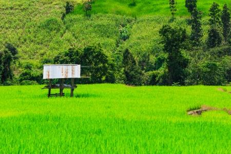 Paddy view green beautiful Chiang Mai Northern Thailand  photo