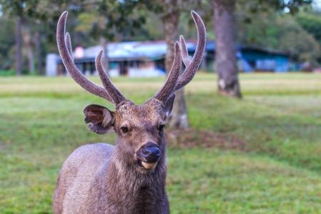 phukradueng:  deer in phukradueng national park thailand