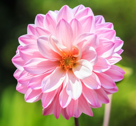 Dahlia colorful flower pink for background texture