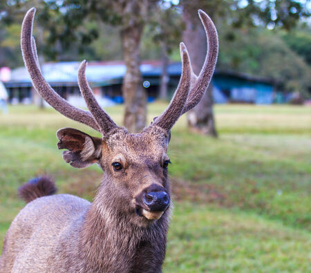 asia deer: Wild deer in Phu Kradueng National Park Asia Thailand  Stock Photo
