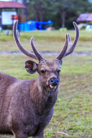 kradueng: Wild deer in Phu Kradueng National Park Asia Thailand  Stock Photo