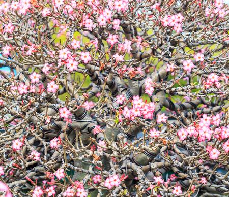 obesum: Desert Rose, adenium obesum