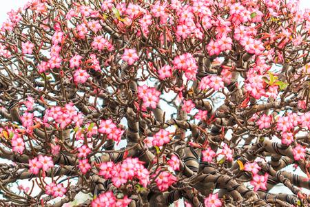 adenium obesum: Desert Rose, adenium obesum azalea flowers