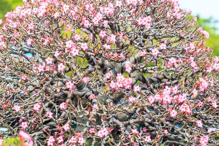 obesum: Desert Rose, adenium obesum azalea flowers