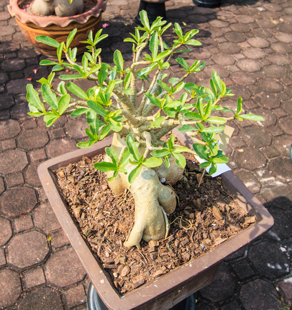 Desert Rose, adenium obesum azalea flowers photo