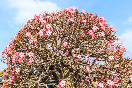 Desert Rose, adenium obesum azalea flowers photo