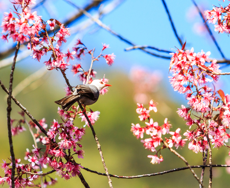 Bird on Cherry Blossom and sakura  White-headed Bulbul   photo