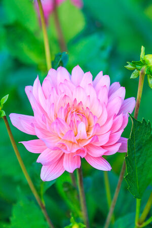 Colorful dahlia flower photo