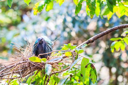 incubate: Victoria Crowned bird  Goura victoria , head profile