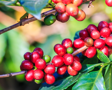 Coffee beans arabica on tree in North of thailand photo