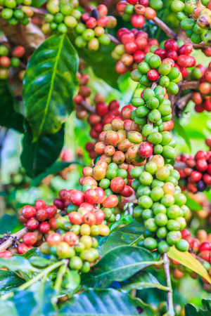 unpicked: Coffee beans arabica on tree in North of thailand