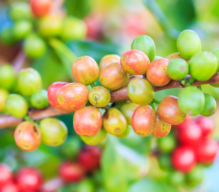 Coffee beans arabica on tree in North of thailand