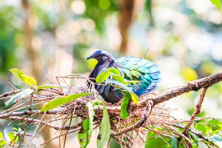 incubate: Nicobar Pigeon ,Caloenas nicobarica bird