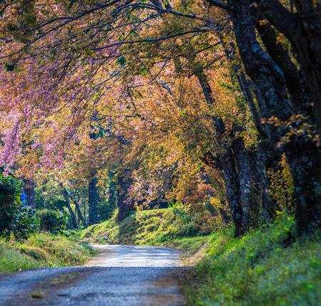 Cherry Blossom and sakura and road photo