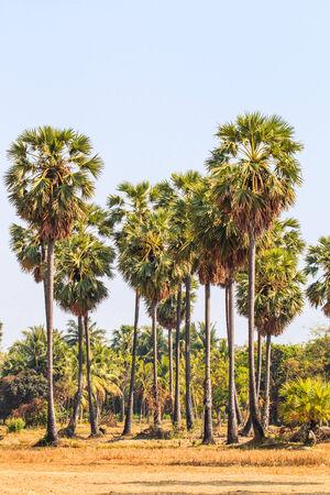 sugar palm photo