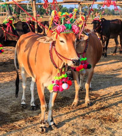 beautiful cow: Annual fair beautiful cow contest Phetchaburi Asia Thailand