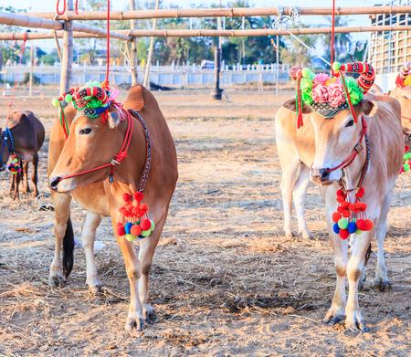 bullock animal: Annual fair beautiful cow contest Phetchaburi Asia Thailand