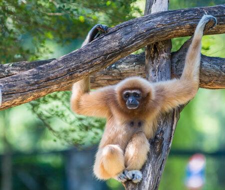 simian: White Cheeked Gibbon or Lar Gibbon