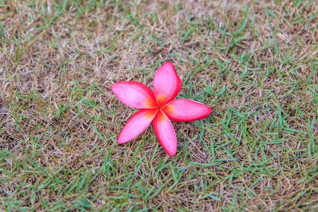 Plumeria (frangipani) flowers photo