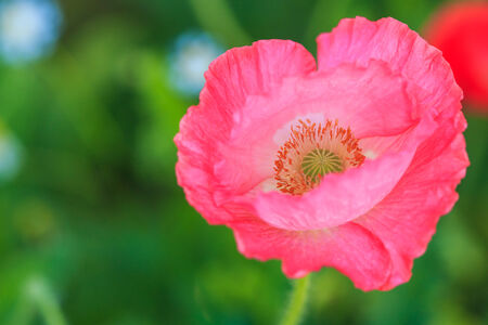 Poppies background photo