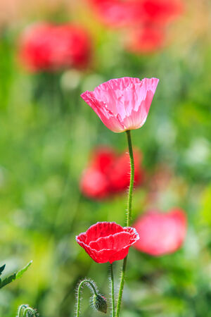 Poppies in closeup shot  photo