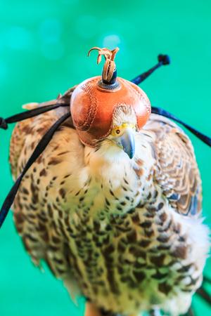 cetreria: Un halc�n de cola roja (Buteo jamaicensis) cubierto con m�scara de cetrer�a