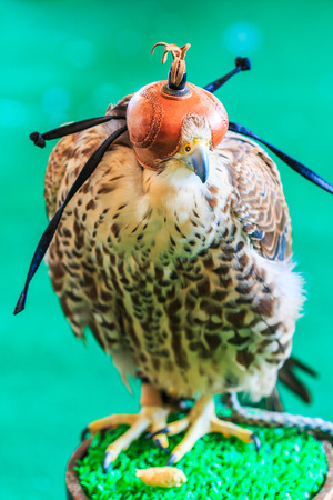 falconry: A Red-tailed hawk (Buteo jamaicensis) covered with falconry mask Stock Photo