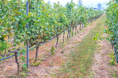 Bineyard Bunch of grapes on the vine with green leaves photo
