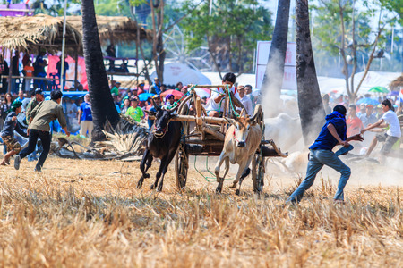 bullock: PHETCHABURI - FEBRUARY 22 : 143rd Cow Racing Festival on February 22, 2014. Phetchaburi, Thailand. Cow Racing is the traditional festival in Phetchaburi.