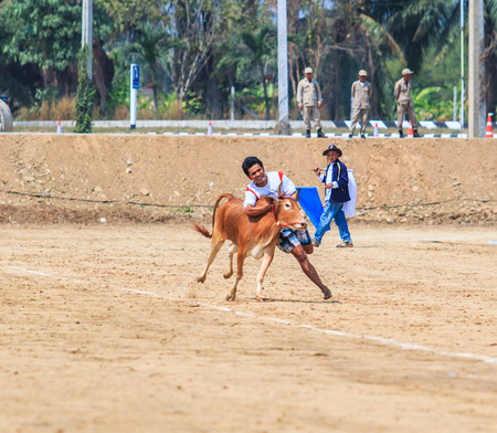 racing festival: PHETCHABURI - FEBRUARY 22 : 143rd Cow Racing Festival on February 22, 2014. Phetchaburi, Thailand. Cow Racing is the traditional festival in Phetchaburi.