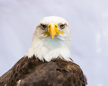 white tailed eagle: American Eagle  Bald Eagle