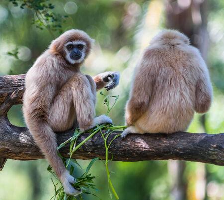 gibbon: White Cheeked Gibbon or Lar Gibbon