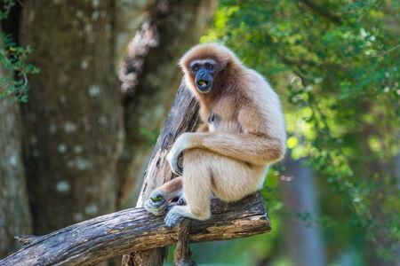 White Cheeked Gibbon or Lar Gibbon photo