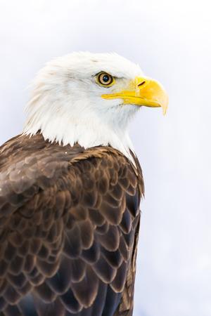 bald eagle: American Eagle  Bald Eagle