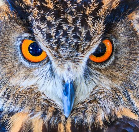 bird eating raptors: Eagle Owl (Eurasian eagle owl) Bubo bubo