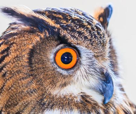 talons: Eagle Owl (Eurasian eagle owl) Bubo bubo