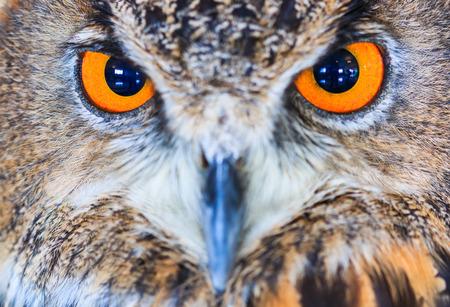 eagle falls: Eagle Owl (Eurasian eagle owl) Bubo bubo