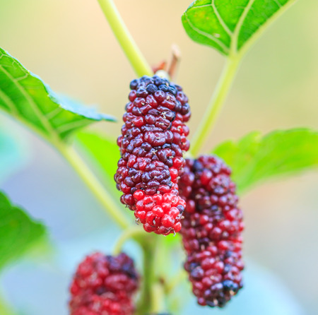 Fresh mulberry on tree - Berry fruit in nature photo