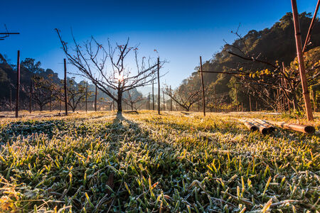 strains: sunrise in the wood between the trees strains in winter period at Doi Ang Khang chiang mai Thailand