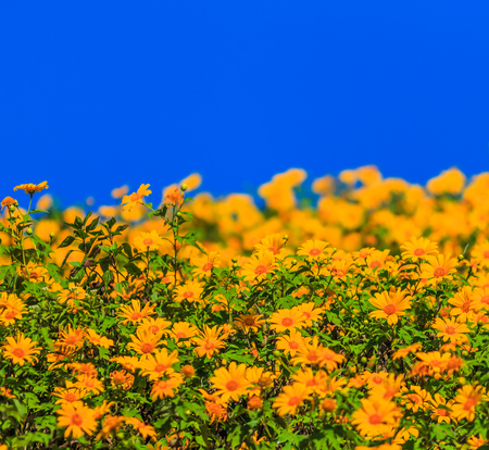 landscape nature flower (mexican sunflower) in Maehongson Province, Thailand. photo