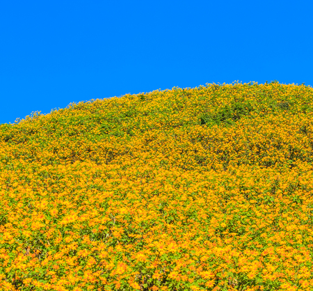landscape nature flower (mexican sunflower) in Maehongson Province, Thailand. photo