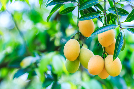 Mayongchid Maprang Marian Plum and Plum Mango thailand Orchard