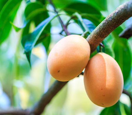 albero da frutto: Mayongchid Maprang Marian Plum e Prugna Mango Thailandia frutteto