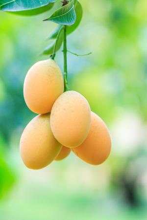 naranja arbol: Mayongchid Maprang Marian ciruela y ciruela Mango tailandia Orchard