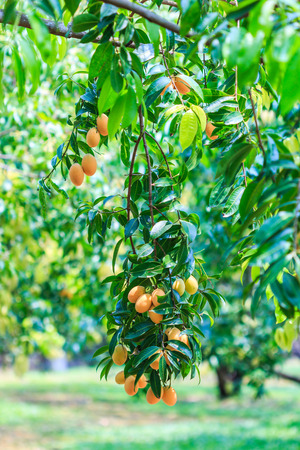 plum tree: Mayongchid Maprang Marian Plum and Plum Mango thailand Orchard